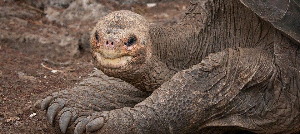 Геномы гигантских черепах объясняют гигантизм и долголетие