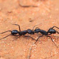 Австралийские муравьи готовятся к «Армагеддону среди насекомых»