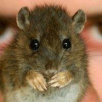 В Японии разрешили создавать гибридов человека и животного