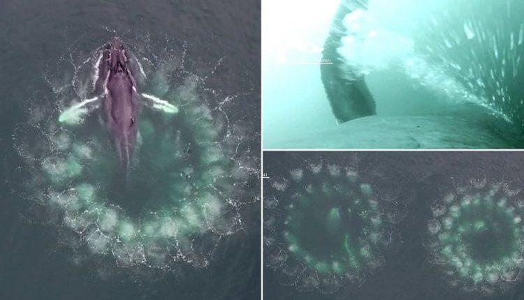 Опубликованы удивительные кадры охоты китов с помощью пузырьковых «сетей»