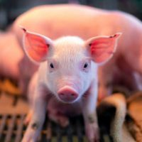 Впервые химеры свиньи и обезьяны рождены в китайской лаборатории