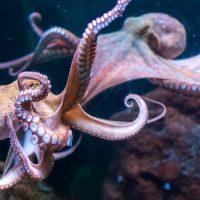 Ученые предупредили, что нельзя разводить осьминогов на фермах