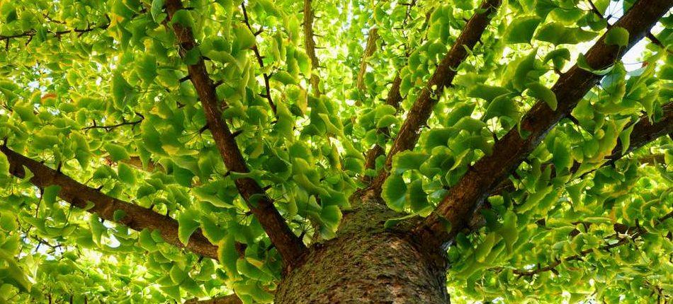 Этот древний вид дерева практически бессмертен, и ученые выяснили почему