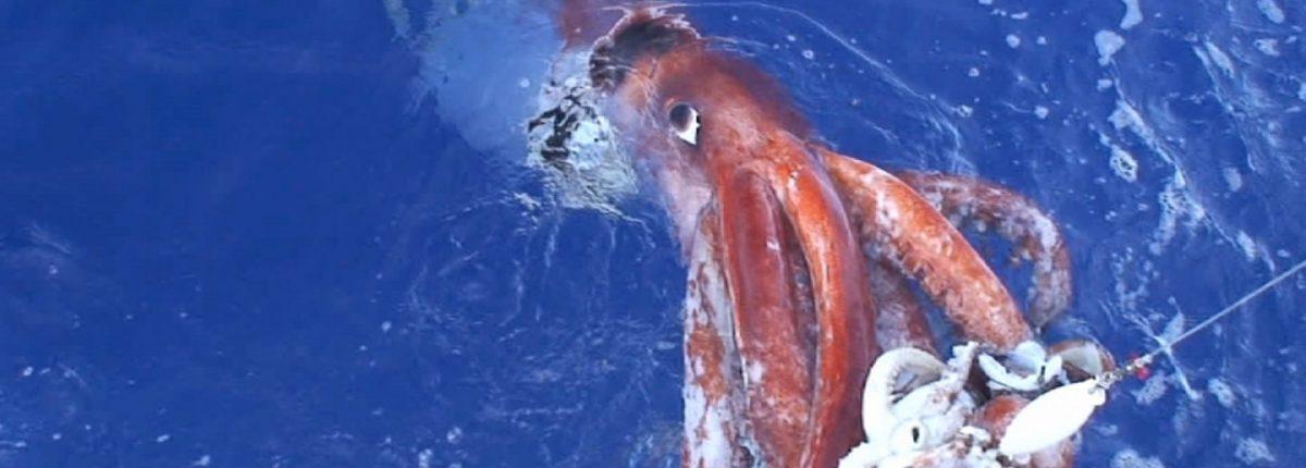 Геном гигантского кальмара полностью расшифрован
