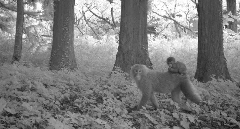 Камеры зафиксировали животных, процветающих в «необитаемой» радиоактивной зоне Фукусимы