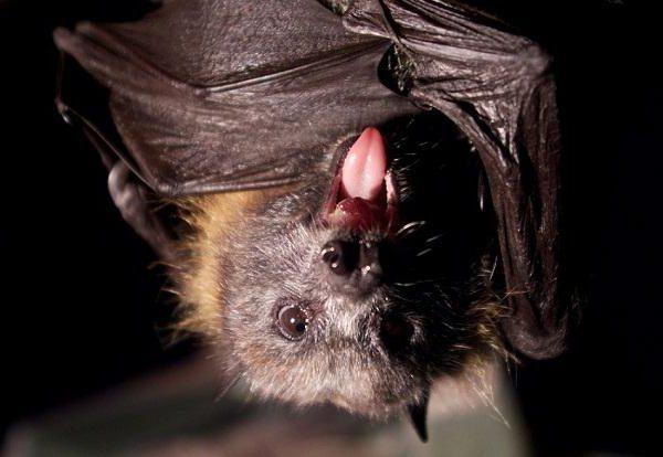 Есть что-то особенное в иммунитете летучих мышей, делающее их идеальными вирусными инкубаторами
