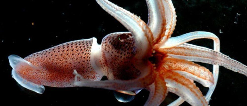Ученые обнаружили, что кальмары могут беспрепятственно редактировать свою РНК
