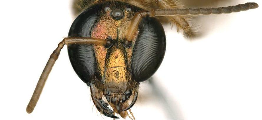 Ученые обнаружили  наполовину самца, наполовину самку пчелы