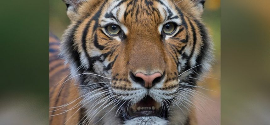 Тигрица в Нью-Йорке заразилась коронавирусом
