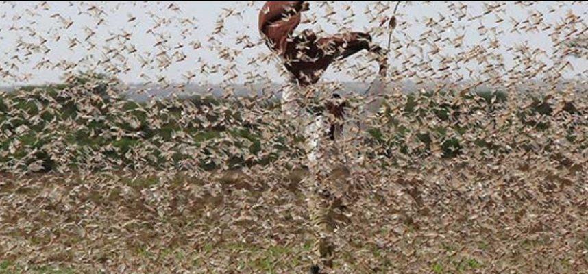 Восточная Африка сталкивается с огромными скоплениями саранчи