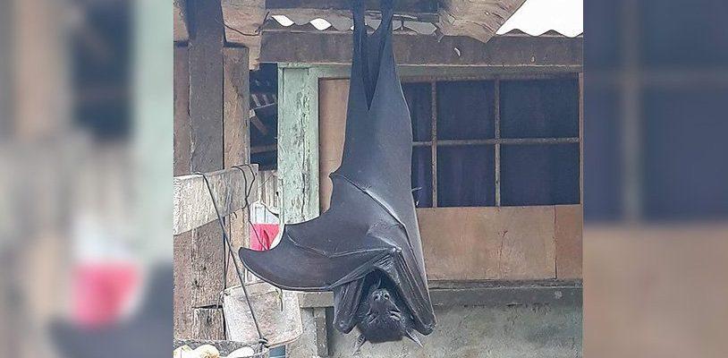 Вот что мы знаем о летучей мыши «размером с человека»