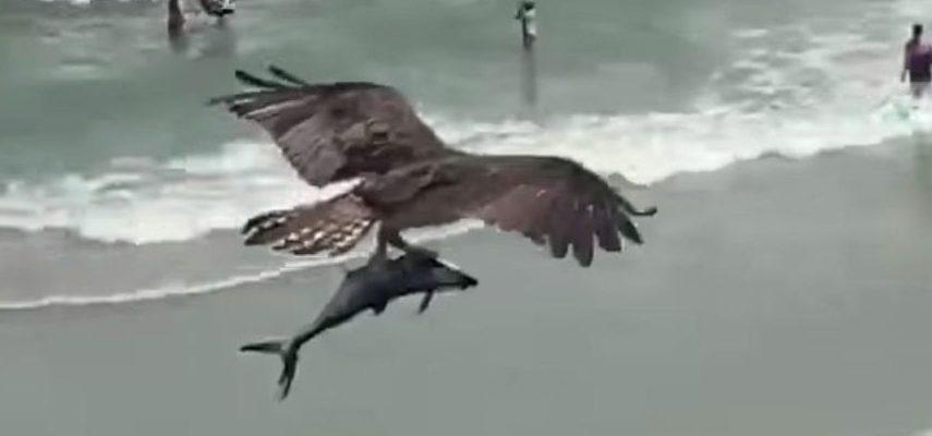 Вирусное видео: Хищная птица поймала акулоподобную рыбу