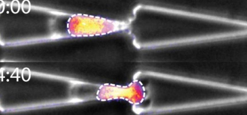 Удивительные кадры показывают, как человеческие клетки протискиваются сквозь невероятно тесные пространства