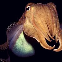 Головоногие моллюски смогли пройти когнитивный тест, разработанный для детей