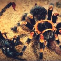 Кто победит в схватке - Скорпион или Тарантул? У нас есть ответ